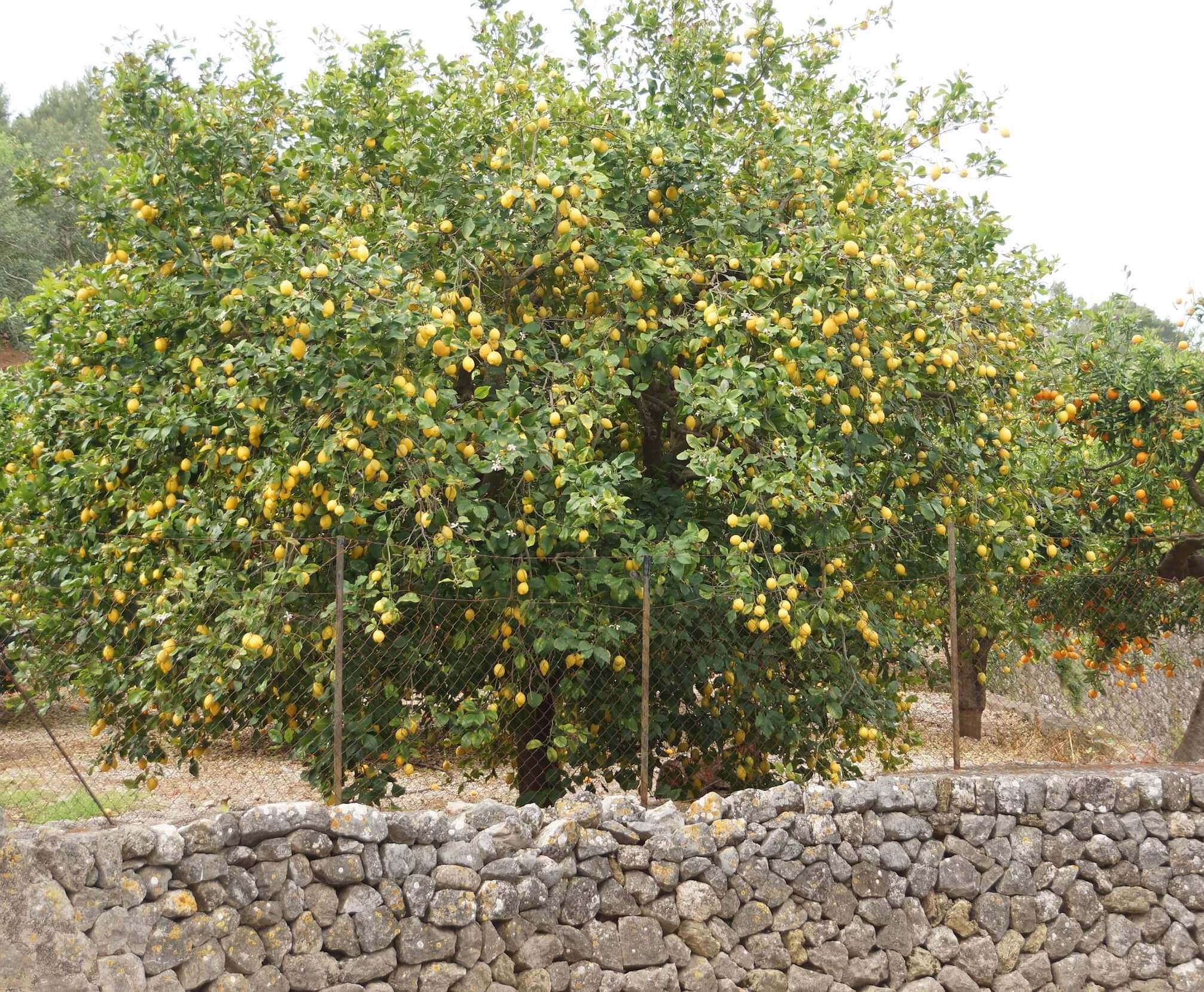 Orangenplantage Soller